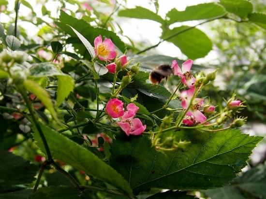 野ばらと蜂.jpg