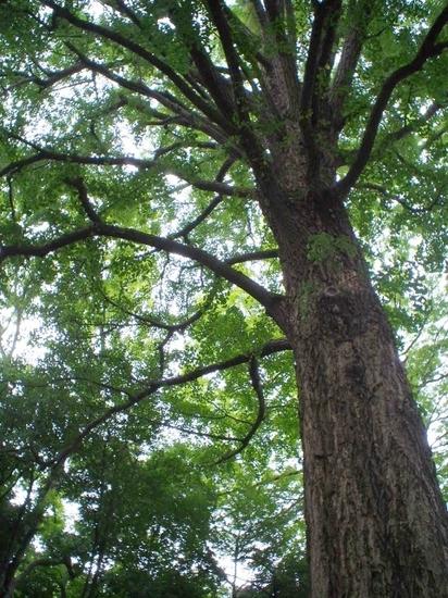 銀杏の木.jpg