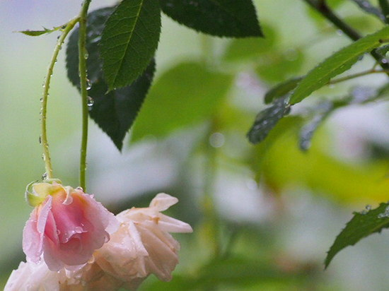 雨に咲くバラ (1).jpg