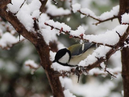 雪とシジュウカラ.jpg
