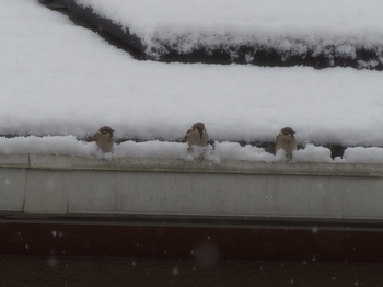 雪とスズメ (5).jpg