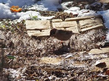 霜柱とスズメ.jpg