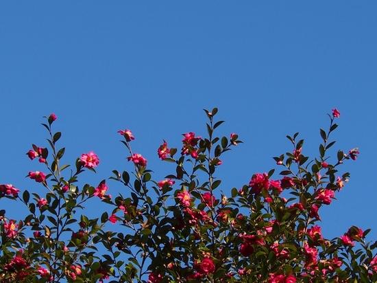 青空と山茶花.jpg