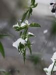 11月の雪 (6).jpg