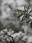 11月の雪 (8).jpg