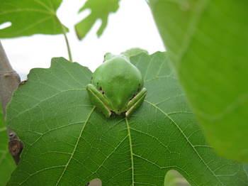 2013アマちゃんイチジクの葉の上で