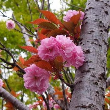 八重桜とケヤキ