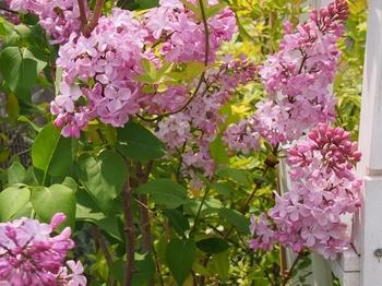 リラ(lilac)の花