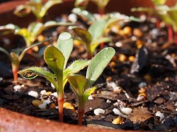 センニチコウ植え替え時