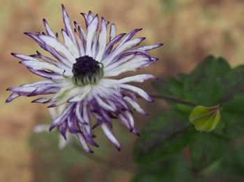 花の後とツボミ