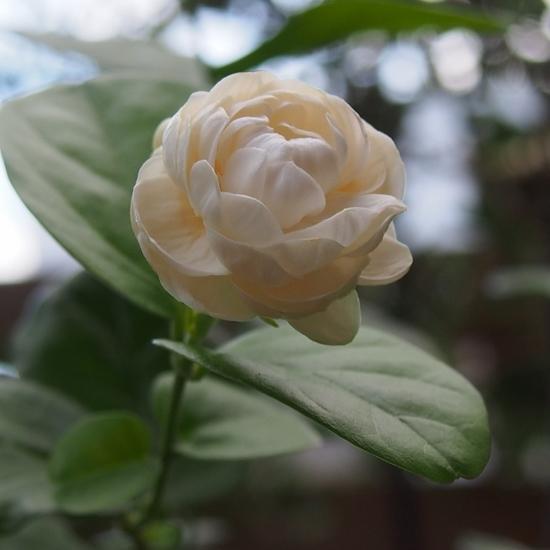 薔薇咲ジャスミン