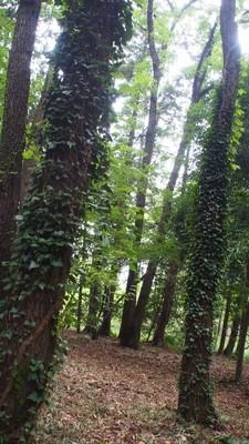 ツタが絡まった木