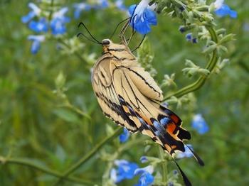 空色の花とキアゲハ