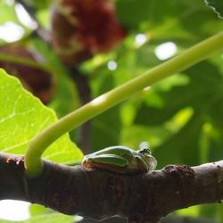 イチジクの木に