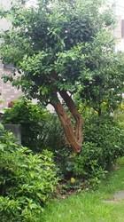 フェイジョアの木