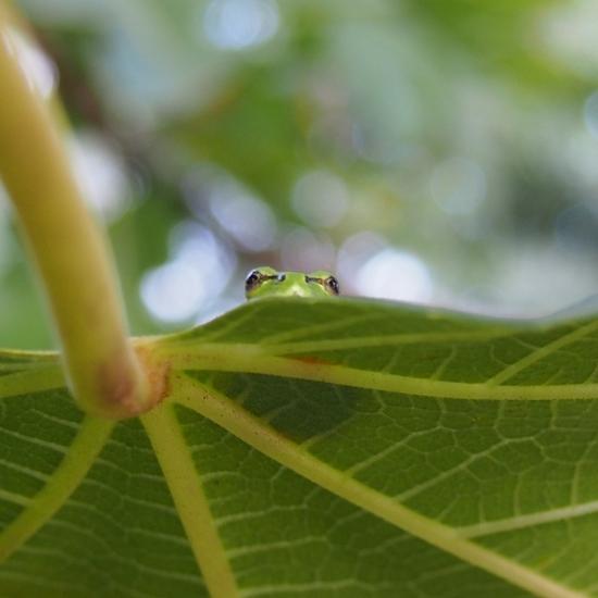 イチジクの葉の上で