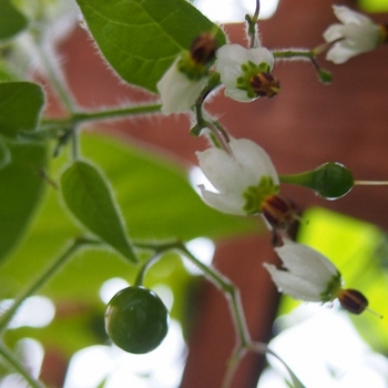 ヒヨドリジョウゴ青い実