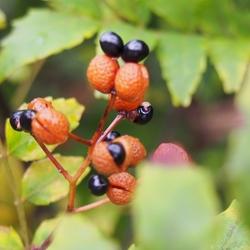 朝倉山椒の種