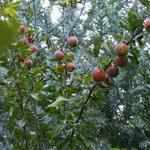 ミモザと林檎