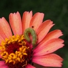 モンシロチョウ幼虫
