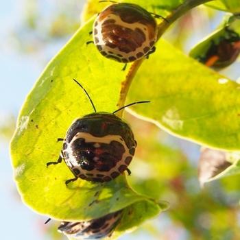 アカスジキンカメムシ幼虫