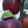 林檎とアマガエル