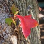 アメリカ楓の紅葉