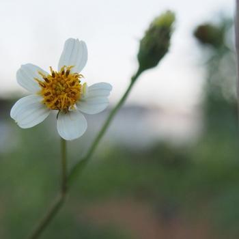 白花センダン