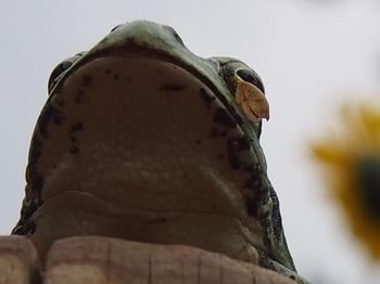 歯をくいしばって耐えるカエル君