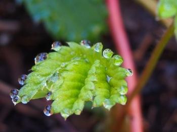 苺の葉に水玉