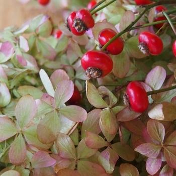 バラの実と秋色アナベル
