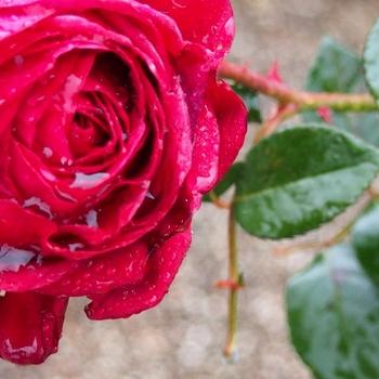 王子様の愛した薔薇