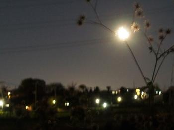月とセンダングサ
