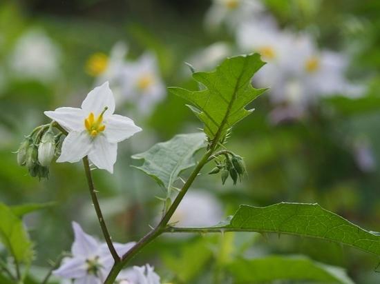 ナス科の植物.jpg