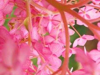ピンクアナベルにカマキリ (2).jpg