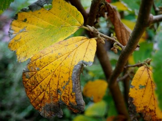 マンサクの黄葉とツボミ.jpg