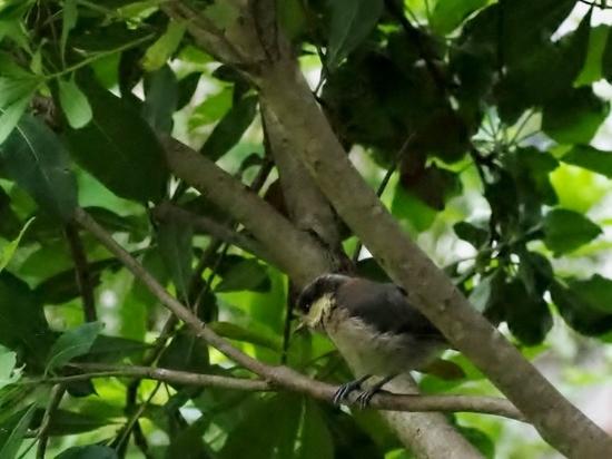ヤマガラ幼鳥 (11).jpg
