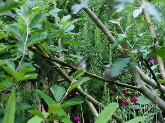 ヤマガラ幼鳥 (12).jpg