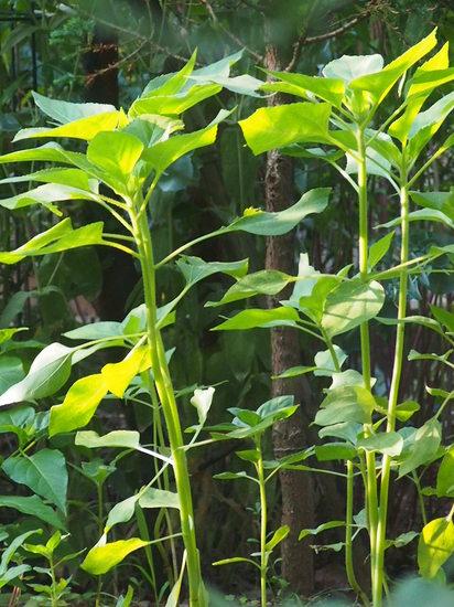 庭のヒマワリ.JPG