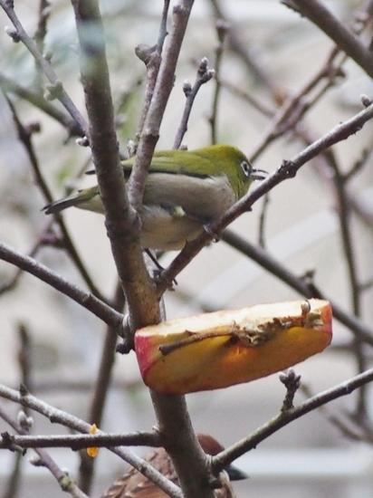 林檎とメジロ (2).jpg