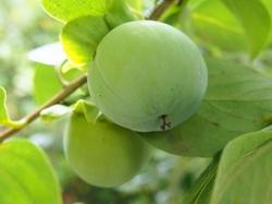 柿の青い実 (2).jpg