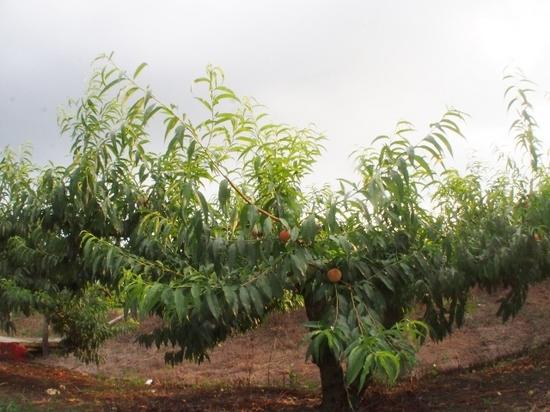 桃の木 (1).jpg