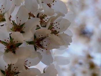 桜 (10).jpg