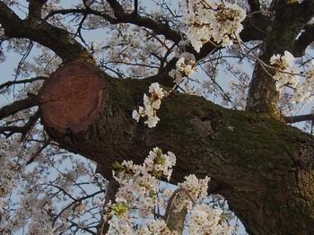 桜 (6).jpg