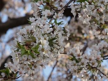 桜 (7).jpg