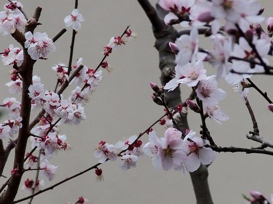 梅とアーモンド.jpg