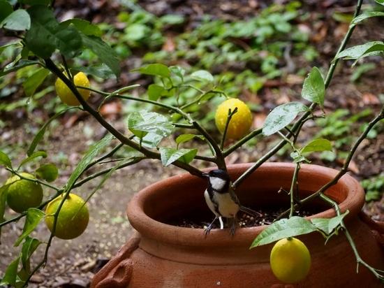 檸檬とシジュウカラ (1).jpg