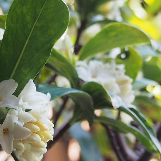 白い沈丁花.jpg