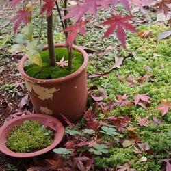 紅葉・モミジの盆栽.jpg