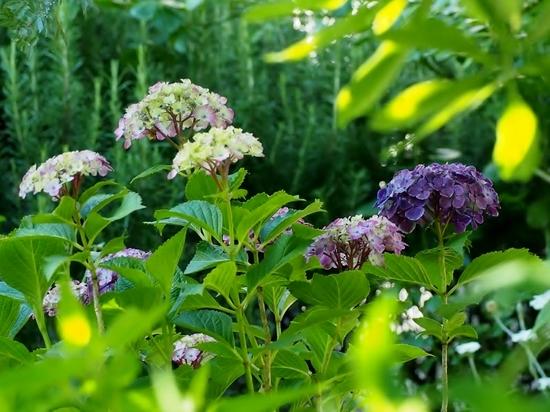 紫色の紫陽花.jpg
